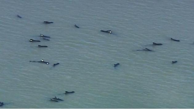 Dozens of pilot whales stranded along Florida coast