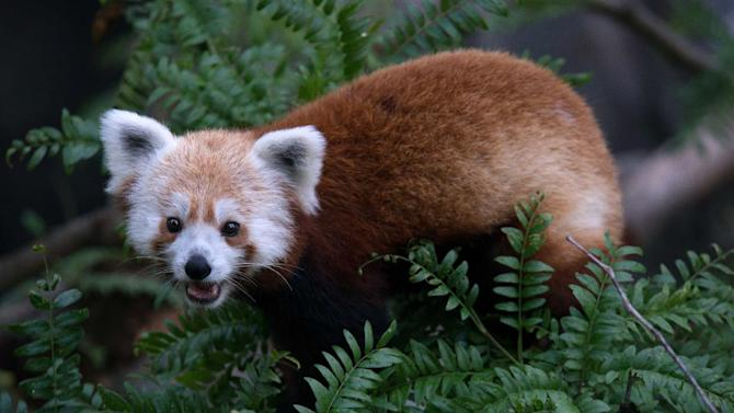 This undated handout photo provided by the National Zoo shows a red panda that escaped from its enclosure at the zoo in Washington in June 2013 and was later found in a nearby neighborhood. The National Zoo has been inspecting vegetation around all of its exhibits to ensure animal enclosures are secure. According to a zoo report on the escape that The Associated Press obtained following a public records request, the zoo has been investigating and observing the red panda named Rusty ever since he was found in a nearby neighborhood. (AP Photo/Smithsonian's National Zoo, Abby Wood)
