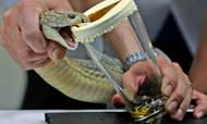 Snake Breeder Killed By His King Cobra's Bite