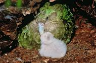 "A rare green kakapo parrot and chick on New Zealand's Codfish Island, an offshore sanctuary where the flightless birds have been bred since 1990. The plump, green kakapo -- the name means ""night parrot"" in Maori -- was once one of the most common birds in New Zealand, which had few land predators before European settlement in the early Nineteenth Century"