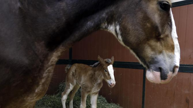 FILE - In this Jan. 30, 2012 file photo Darla, a 7-year-old Clydesdale, top, watches over her  foal at Warm Springs Ranch in Boonville, Mo.  Budweiser announced Tuesday, Feb. 5, 2013 the three-week-old star of their Super Bowl ad now has a name: Hope. (AP Photo/Jeff Roberson, File)