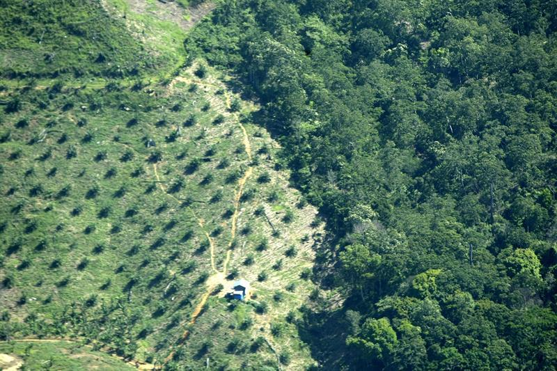 Greenpeace acusa a 25 compañías de aceite de palma de deforestar 1.300 km2