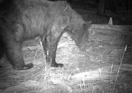 This black bear was photographed by a camera trap near the South Rim of Grand Canyon on June 14.