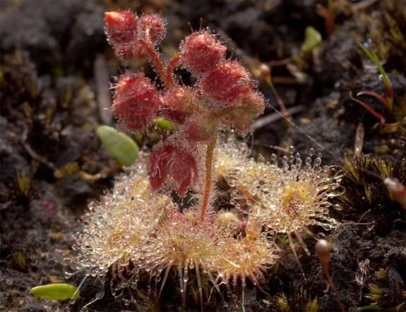 Here, the carnivorous sundew plant growing on the foothills of Mt. Cameron, in northeastern Tasmania. Researchers have found the plant's snappy tentacles can capture an insect in just 75 milliseconds.