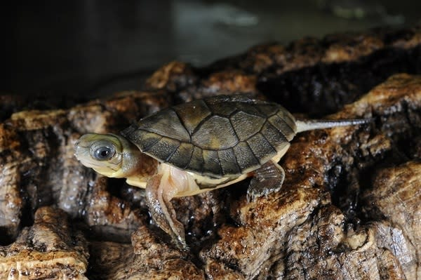 This baby Chinese yellow-headed box turtle could hear better if it was underwater.