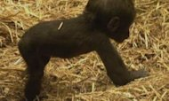 Baby gorilla takes his first steps
