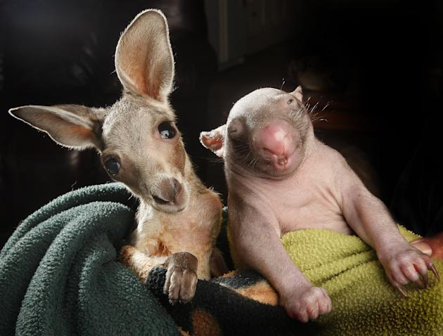 Anzac the joey and Peggy the wombat became best friends after sharing a pouch together at the Wildlife Kilmore Rescue Centre in Victoria, Australia. Worker Lisa Milligan said the unlikely friends are
