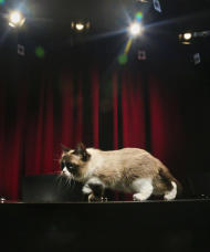 Grumpy Cat, an Internet celebrity cat whose real name is Tardar Sauce, walks on a table during a television interview on Friday April 4, 2014 in New York. Known for her facial expression, her owner Tabatha Bundesen says that Grumpy Cat's permanently grumpy-looking face is due to feline dwarfism. (AP Photo/Bebeto Matthews)