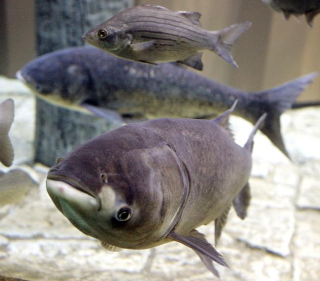 FILE - In this Thursday, Jan. 5, 2006 file photo, a bighead carp, front, a species of the Asian carp, swims in a new exhibit that highlights plants and animals that eat or compete with Great Lakes nat