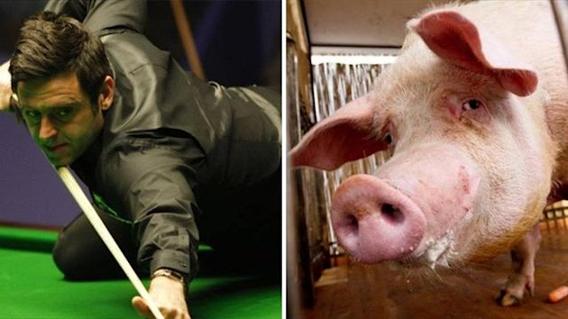 Ronnie O'Sullivan and a pig