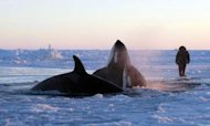 Killer Whales Trapped In Canadian Sea Ice