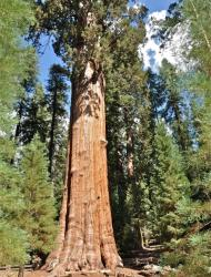 This photo shows the General Sherman Tree found in Sequoia National Park, believed to be the world's largest tree by volume. Large trees like this are in decline, according to a new study.