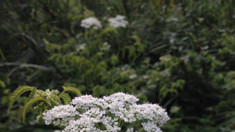 A dozen of the deadliest garden plants water hemlock