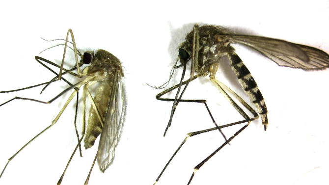 This undated photo provided by the Northwest Mosquito Abatement District  shows a Culex pipiens, left, the primary mosquito that can transmit West Nile virus to humans, birds and other animals. It is produced from stagnant water. The bite of this mosquito is very gentle and usually unnoticed by people. At right is an Aedes vexans, primarily a nuisance mosquito produced from freshwater. It is a very aggressive biting mosquito but not an important transmitter of disease. (AP Photo/courtesy the Northwestern Mosquito Abatement District)