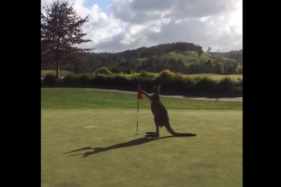 GOLF KANGAROO invades chipping green, battles flags