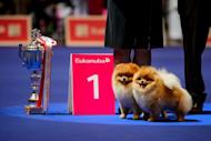A pair of dogs pose next to their trophy during the European Dog Show on August 30, 2013 in Geneva. Big, small, shaved, hairy, curly, more than 11,000 doggies of all kinds, pampered to the extreme, and from all corners of Europe compete in Geneva until Sunday to win the title of the most beautiful dog in Europe