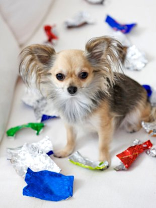 Bad doggy! Keep your dogs -- and cats -- away from holiday treats.