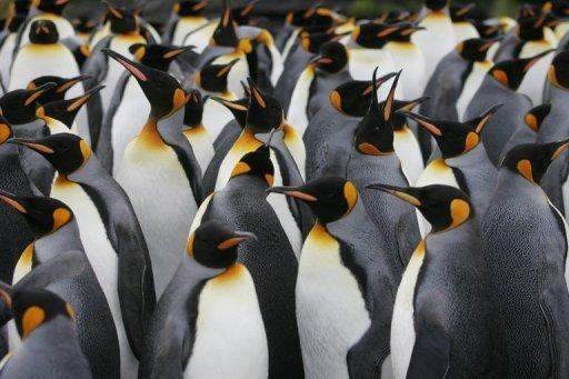 A colony of King penguins in Antarctica. Argentine experts have discovered fossils of a two-meter (6.5 foot) tall penguin that lived in Antarctica 34 million years ago.