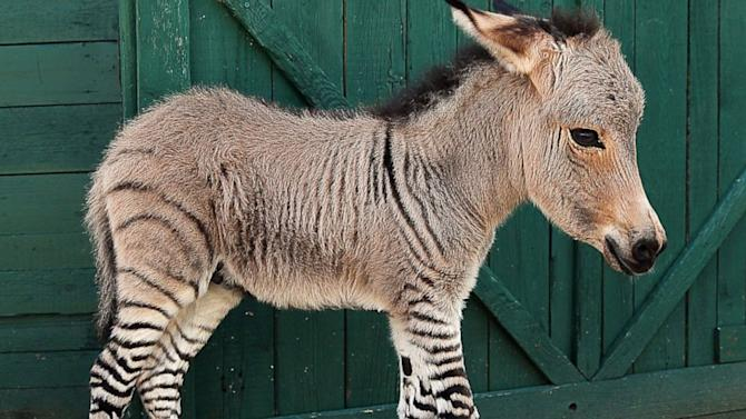 Rare Italian-born Baby Zonkey in Good Health