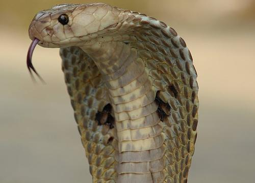 An Indian Spectacled Cobra.