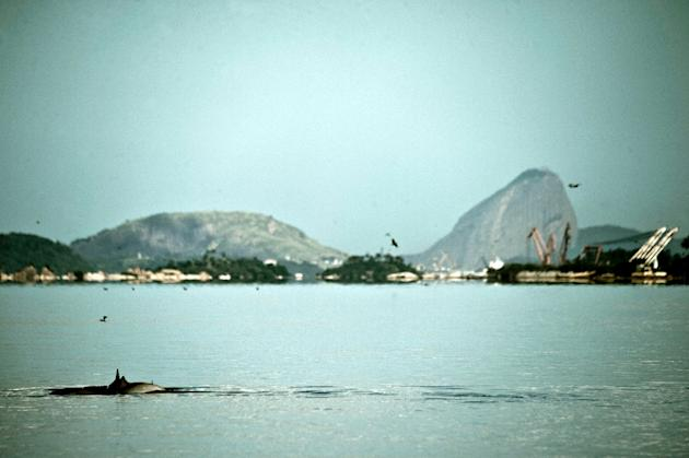 Boto Cinza dolphins swim in the polluted waters of Guanabara Bay on May 21, 2015