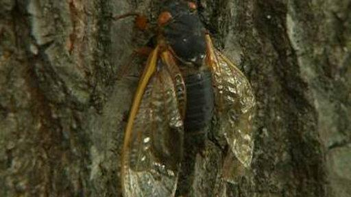 Cicadas Emerge from 17-year Hibernation