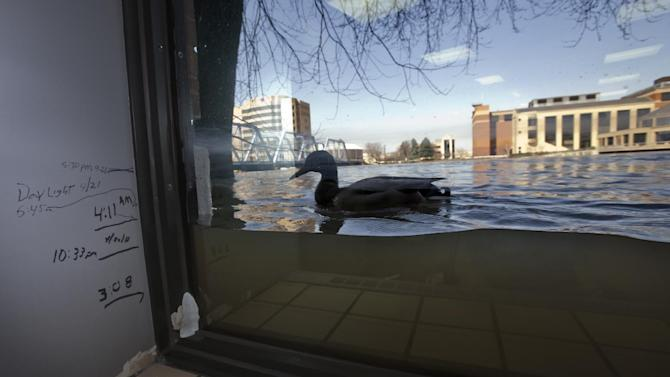 A duck swims a window, viewed from inside Anderson Eye Care at the Riverfront Plaza Building in downtown Grand Rapids, Mich., as The Grand River crests on Monday, April 22, 2013, at an all time high of 21.85 feet, a full 2.2 feet above the record set in 1985, in downtown Grand Rapids. Previous water levels can be seen marked on the wall. (AP Photo/The Grand Rapids Press, Cory Morse)