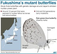 Graphic on Japan's pale grass blue butterflies, showing signs of genetic mutation after last year's Fukushima nuclear accident, according to researchers