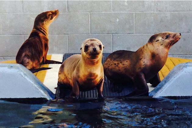 In this April 11, 2014, photo provided by the Marine Mammal Center is Hoppie, center, shown recovering with other malnourished sea lion pups at The Marine Mammal Center in Sausalito, Calif. Workers at