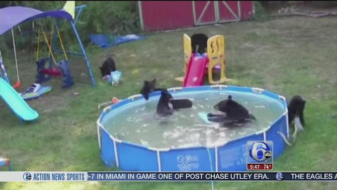 Bears frolic at wild pool party in nj yahoo news for Bears in swimming pool new jersey