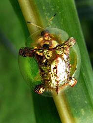 The rare golden beetle was spotted in Mundgod, India (Chime Tsetan/Caters)
