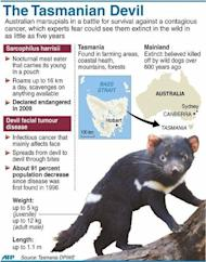 Graphic on Australia's Tasmanian Devils, rare carnivorous marsupials in a battle for survival against a contagious facial cancer