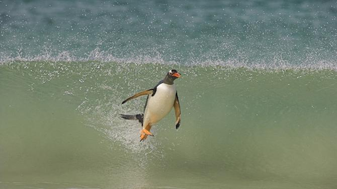 Gentoo penguin (Pygoscelis papua papua) surfing on wave. These penguins are masterful surfers. We filmed them in high speed using the phantom as they came ashore to feed their young. Frozen Planet