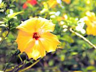 The hibiscus rosa-sinensis, a variety of the local gumamela flower, also carries the name of Dr. Marilyn D. Marañon in honor of her work as public servant in Negros Occidental.