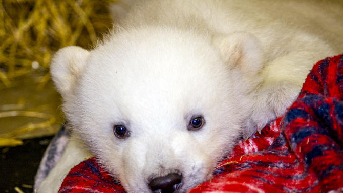 This photo provided by the Alaska Zoo and taken March 13, 2013, in Anchorage, Alaska, shows Kali, an orphaned polar bear cub who is being cared for at the zoo. The cub's mother was shot in Point Lay, Alaska, on March 12 and the cub is temporarily staying at the zoo in Anchorage until it has a permanent home. (AP Photo/Courtesy the Alaska Zoo, John Gomes)