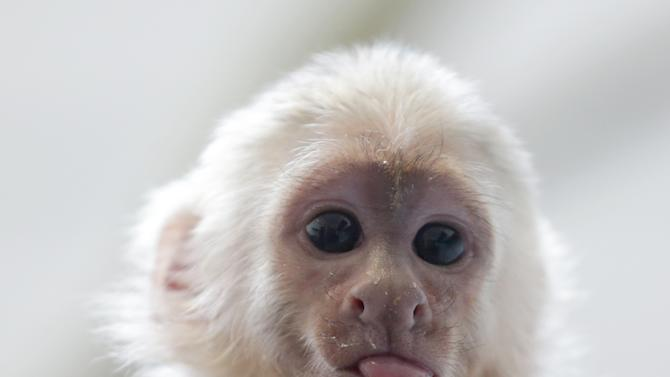 """Capuchin monkey 'Mally"""" sits on the head of an employee in an animal  shelter in Munich, Germany, Tuesday, April 2, 2013. Canadian singer Justin Bieber had to leave the monkey last Thursday in quarantine after arriving in Munich without the necessary documents for the animal. (AP Photo/Matthias Schrader)"""