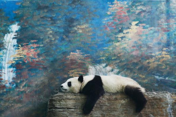 A giant panda rests at the Beijing Zoo on June 5, 2012 in Beijing, China. With an estimated 1,600 living in the wild, the endangered giant panda dwell in a few mountain ranges in central China, in Sic