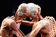 BERLIN, GERMANY - APRIL 29: Plastinated human corpses are pictured at the Body Worlds exhibition on April 29, 2011 in Berlin, Germany. The exhibition, which features human and animal corpses plastinated by Gunther von Hagens, focuses on the role of the heart. It will be open to the public at the Postbahnhof from April 27 to August 14. (Photo by Andreas Rentz/Getty Images)