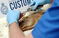 This file photo shows an Australian Customs officer removing heroin found in a fish, in Brisbane, in 2006. An Australian investigation into money-laundering and drug trafficking has uncovered a powerful triad syndicate with top Asian politicians and police involved, according to a report