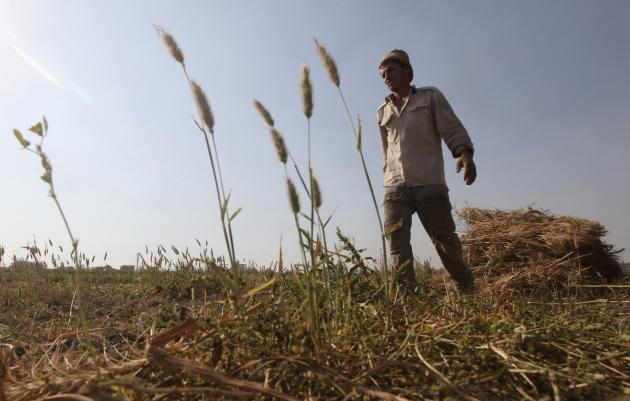 Wael Abo El Saoud, a 25 year-old farmer, harvests wheat on Miet Radie farm El-Kalubia governorate, about 60 km northeast of Cairo