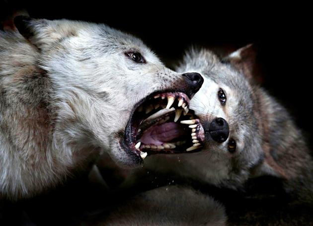The two wolves clash for a really wild show