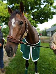 Preakness Stakes winner Oxbow grazes outside his barn at Belmont Park in Elmont, New York, on June 6, 2013. With Kentucky Derby winner Orb and Oxbow poised for a Belmont Stakes showdown on Saturday, Freedom Child is drawing attention as a potential spoiler in the last of 2013's Triple Crown races
