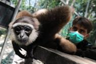 A rescued gibbon monkey at the rehabilitation center run by French environmentalist Aurelien Brule. For 15 years he has lived in the Indonesian jungle, crusading against palm oil multinationals, loggers and corruption in his bid to save endangered gibbons from annihilation