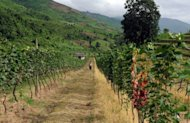 Wine making takes root in long-isolated Myanmar
