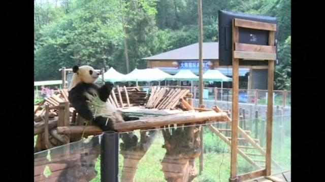 Lonely panda gets own TV set in Chinese zoo