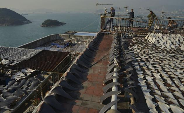 This photo, taken on January 2, 2013, shows shark fins drying in the sun on the roof of a factory building in Hong Kong. Local conservationists expressed outrage after images emerged, calling for curbs on the 'barbaric' trade