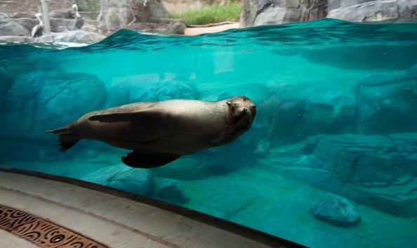 A sea lion swims by a viewing area during a sneak peak of the new American Trail at the Smithsonian National Zoo August 29, 2012 in Washington, D.C. The 300,000 gallon sea lion pool, designed in the s