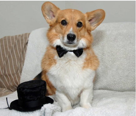 How a Corgi Presents Himself