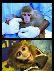 A combo shows an INRA image (top) of a man holding a monkey with light fur and a mole above its right eye, claimed to have been taken on January 28, 2013, before being sent into space. The ISNA image (bottom) and taken on January 30, 2013, shows a man holding a monkey with darker fur and no mole above the eye, after the return of the capsule