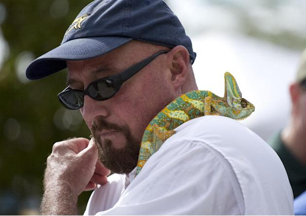Rodney Irwin looks over his shoulder at his veiled chameleon lizard during the kick-off ceremonies for the 2013 Python Challenge in Davie, Fla., Saturday, Jan. 12, 2013. Irwin said he had rescued the
